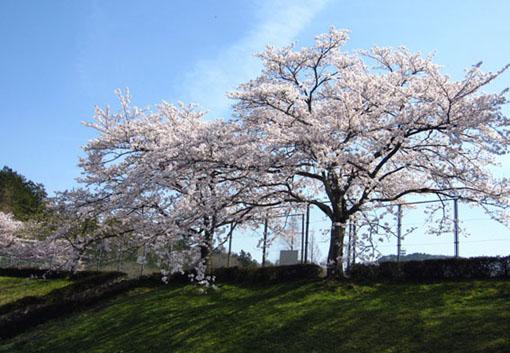 2011sakura.jpg